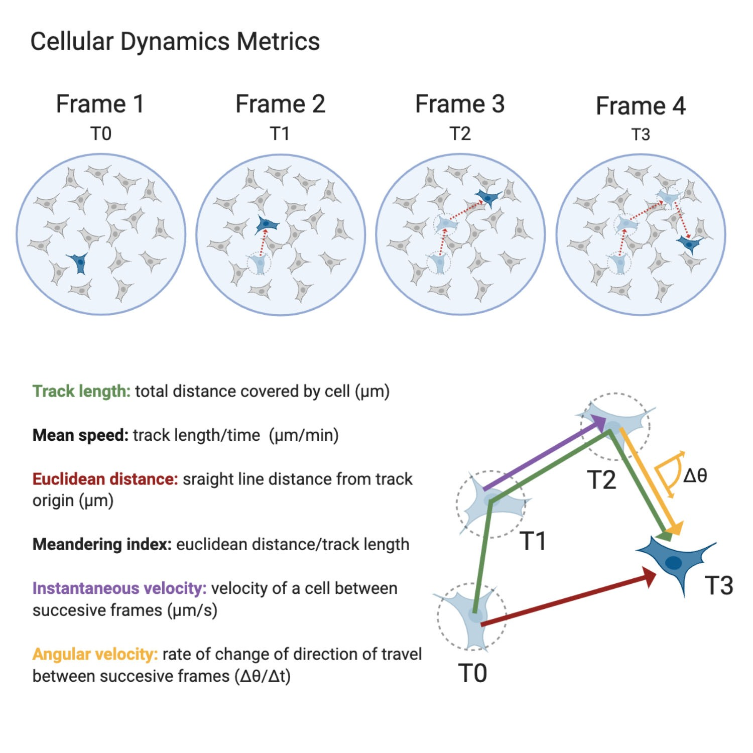 capture temporal changes by analysis time-lapse videos to compare single cells inside cell populations