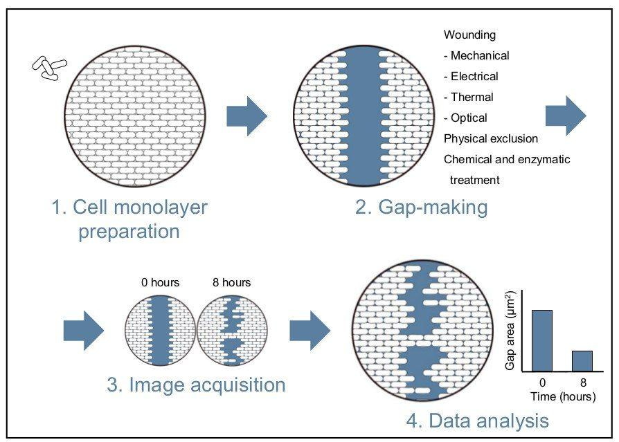 wound healing assay protocol overview